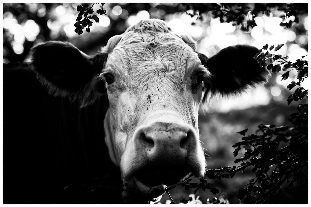 LOVE COWS | horse, dog, cow, sp - delafoi | ello