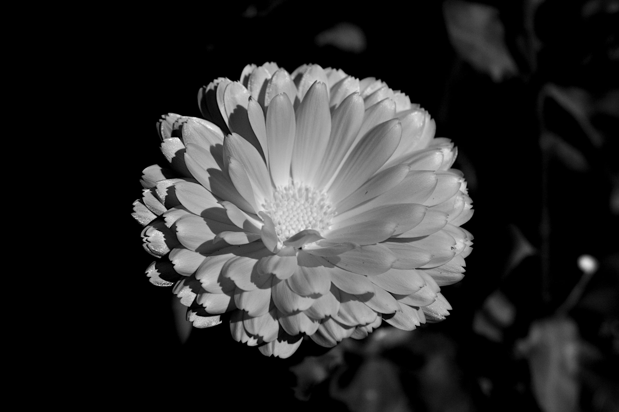 Botanical Monochrome 8858 - flowerphotography - dorian-stretton   ello