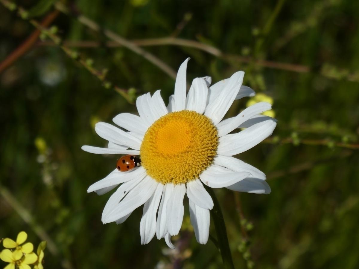 Ladybird daisy (Panasonic Lumix - paulbines | ello