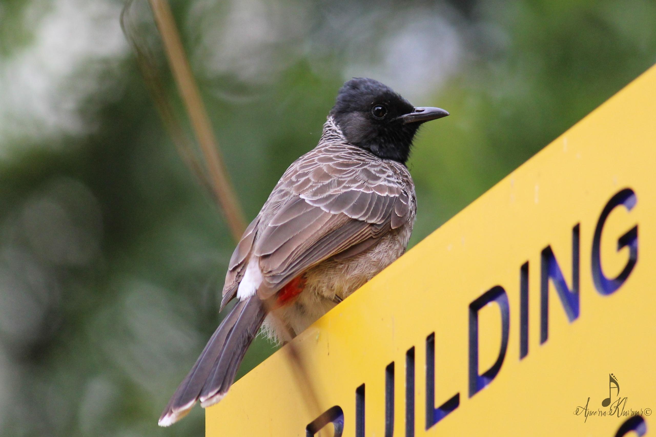 Window birding 5: Red vented bu - apps11 | ello