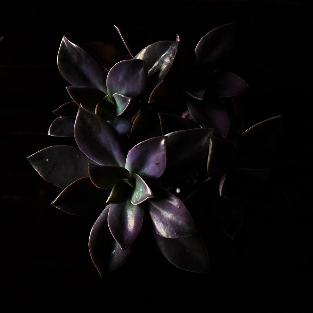 Roy Succulent ig - shiraroth | ello