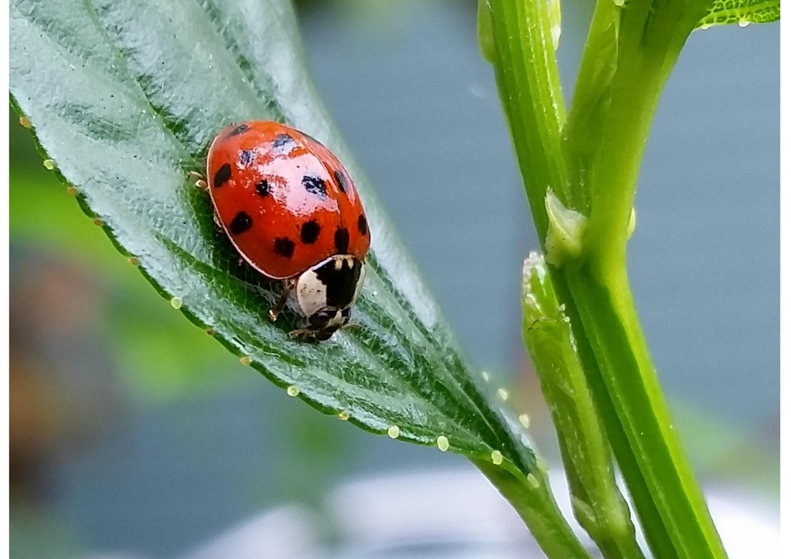 grasshoppers eat ladybugs - tehranchik   ello