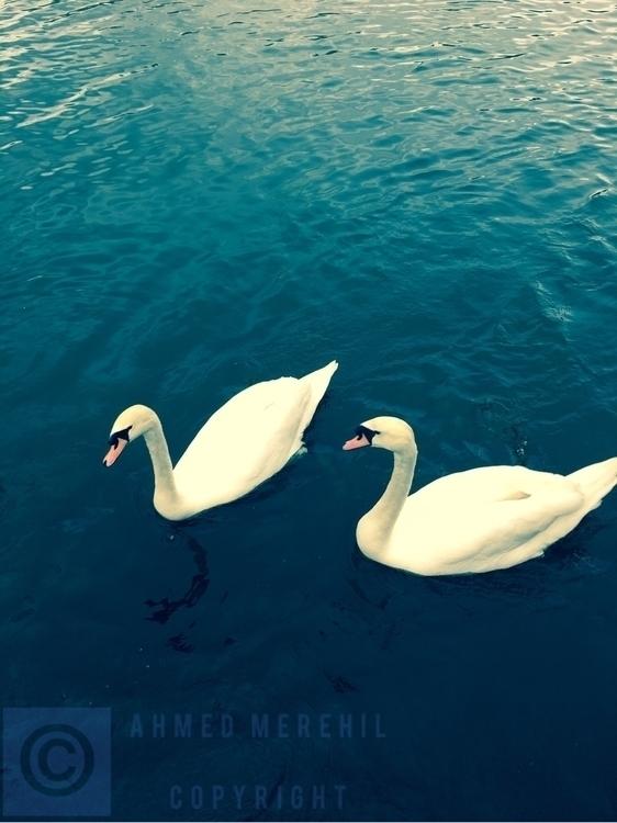 beauty magic swans - aight_8 | ello