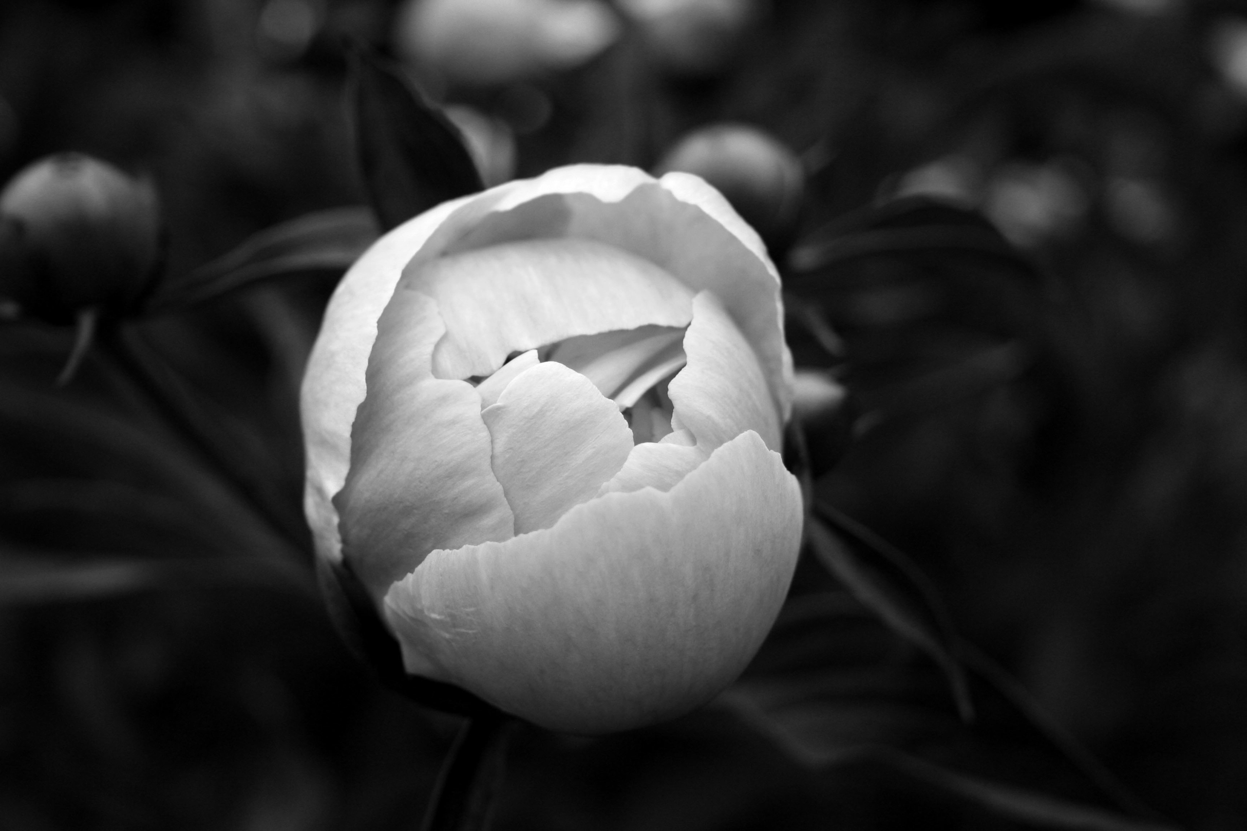 La botanique – Paeonia 02 - photography - clotildeh | ello