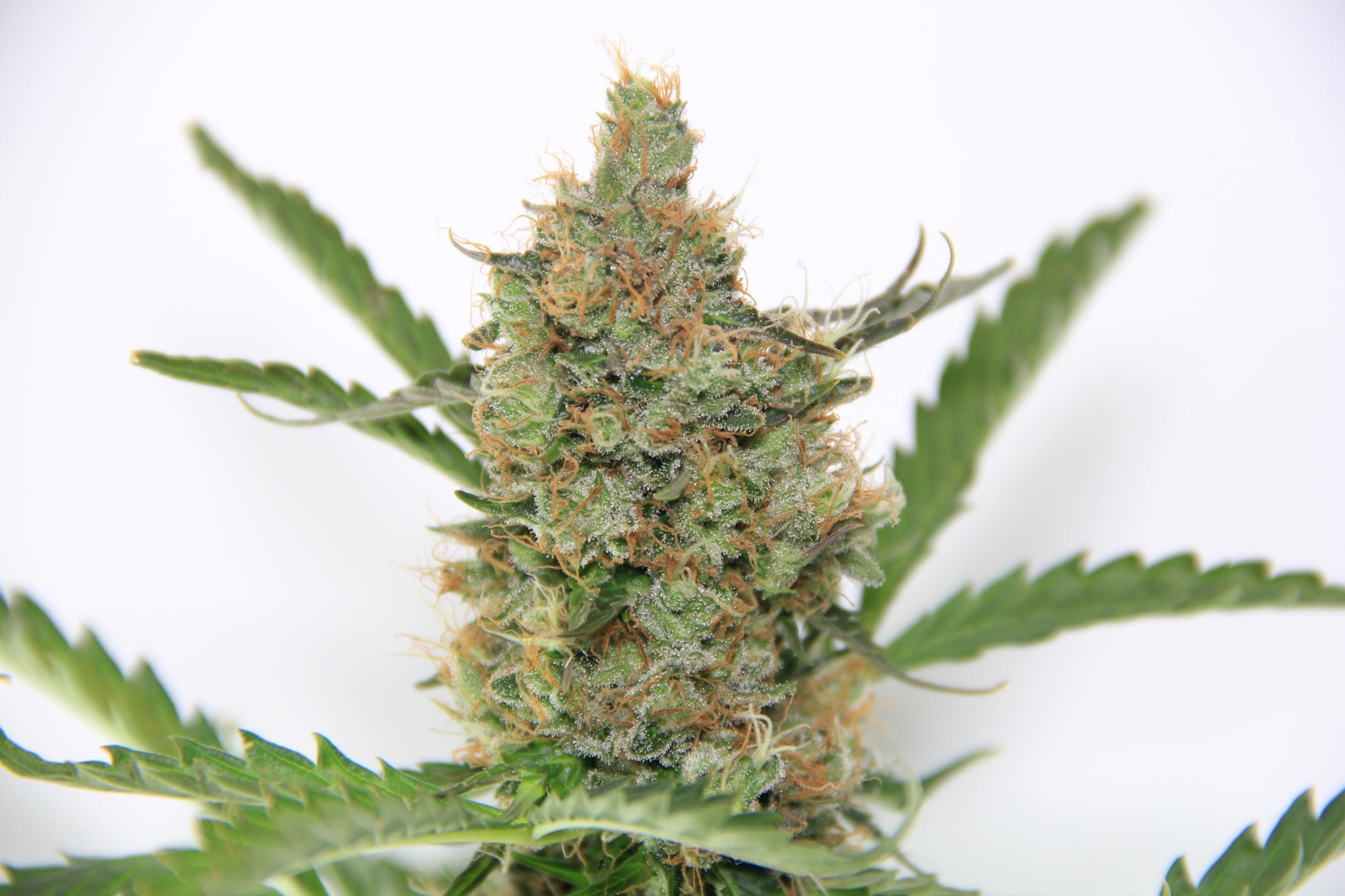NYC Diesel - cannabis, seeds, cropkingseeds - cropkingseeds | ello