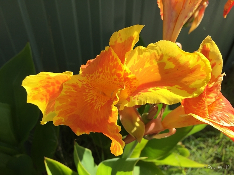 Canna Lily / Red Wolf - photography - red_wolf | ello