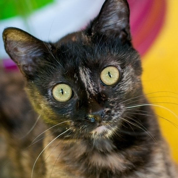 COMMENT SHARE TORTIE TUESDAY! M - snapcats | ello