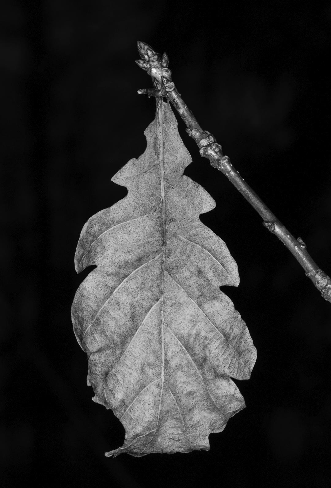 Oak leaf - photography, macro, canon - anttitassberg | ello
