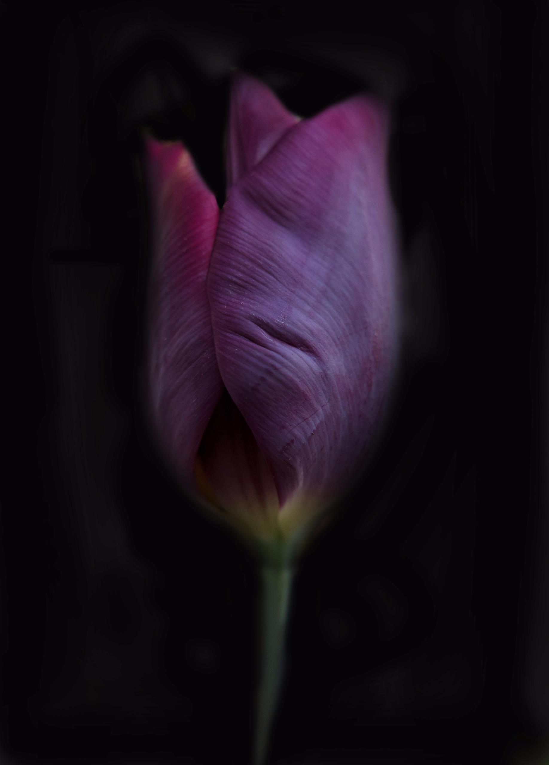 Single Tulip single tulip prepa - junwin   ello