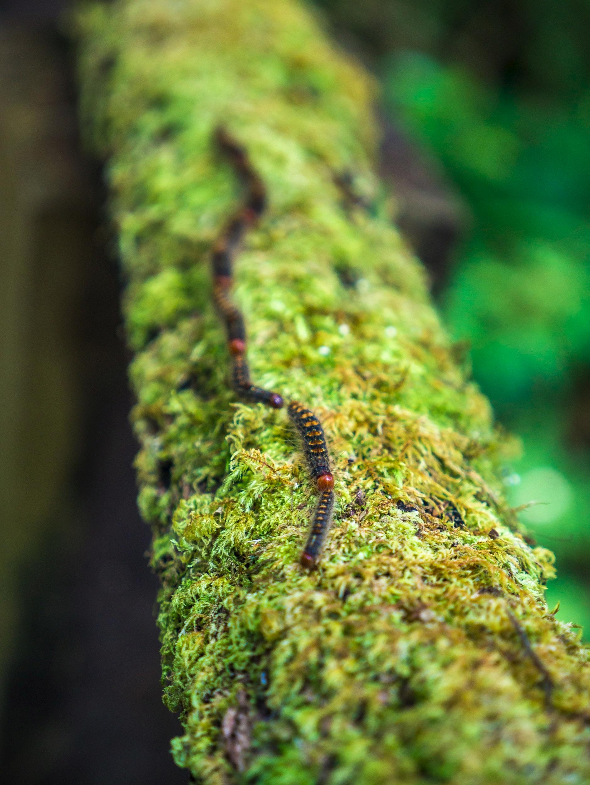 Preceding Caterpillar, Chiangma - travischau | ello