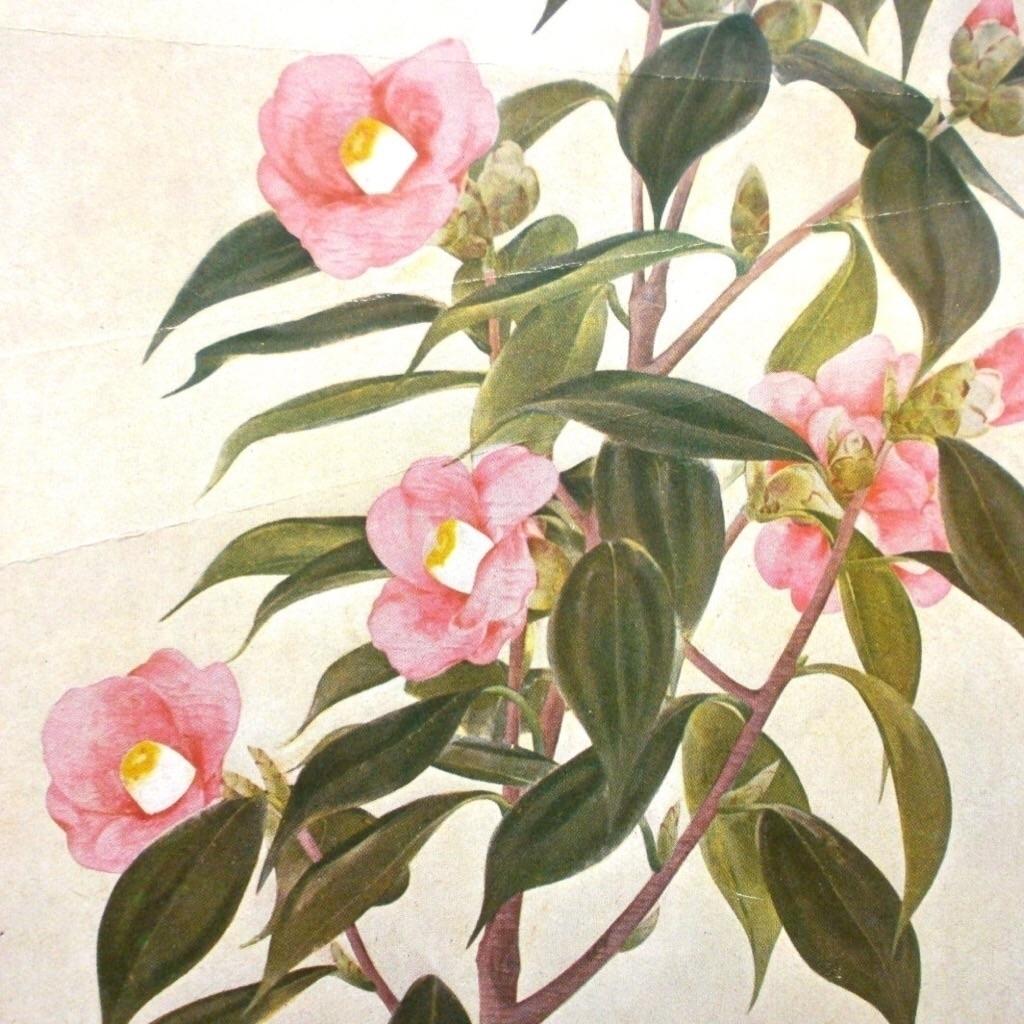 椿 Camellia - futoshijapanese | ello