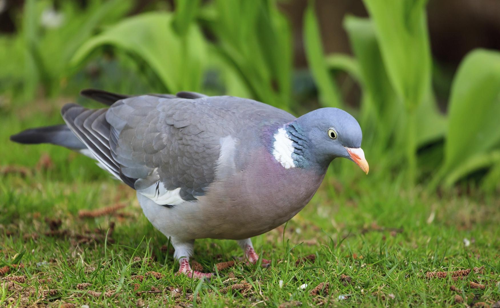 Wood pigeon - photography, bird - anttitassberg   ello