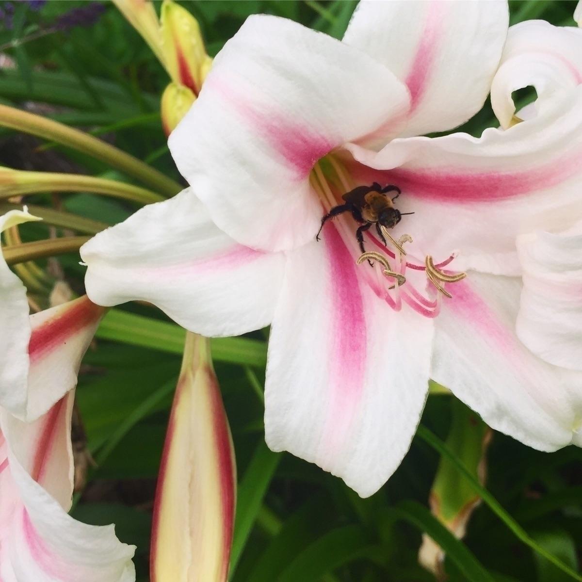 Stargazer Lily Pollinator - apothecary - savageapothecary | ello