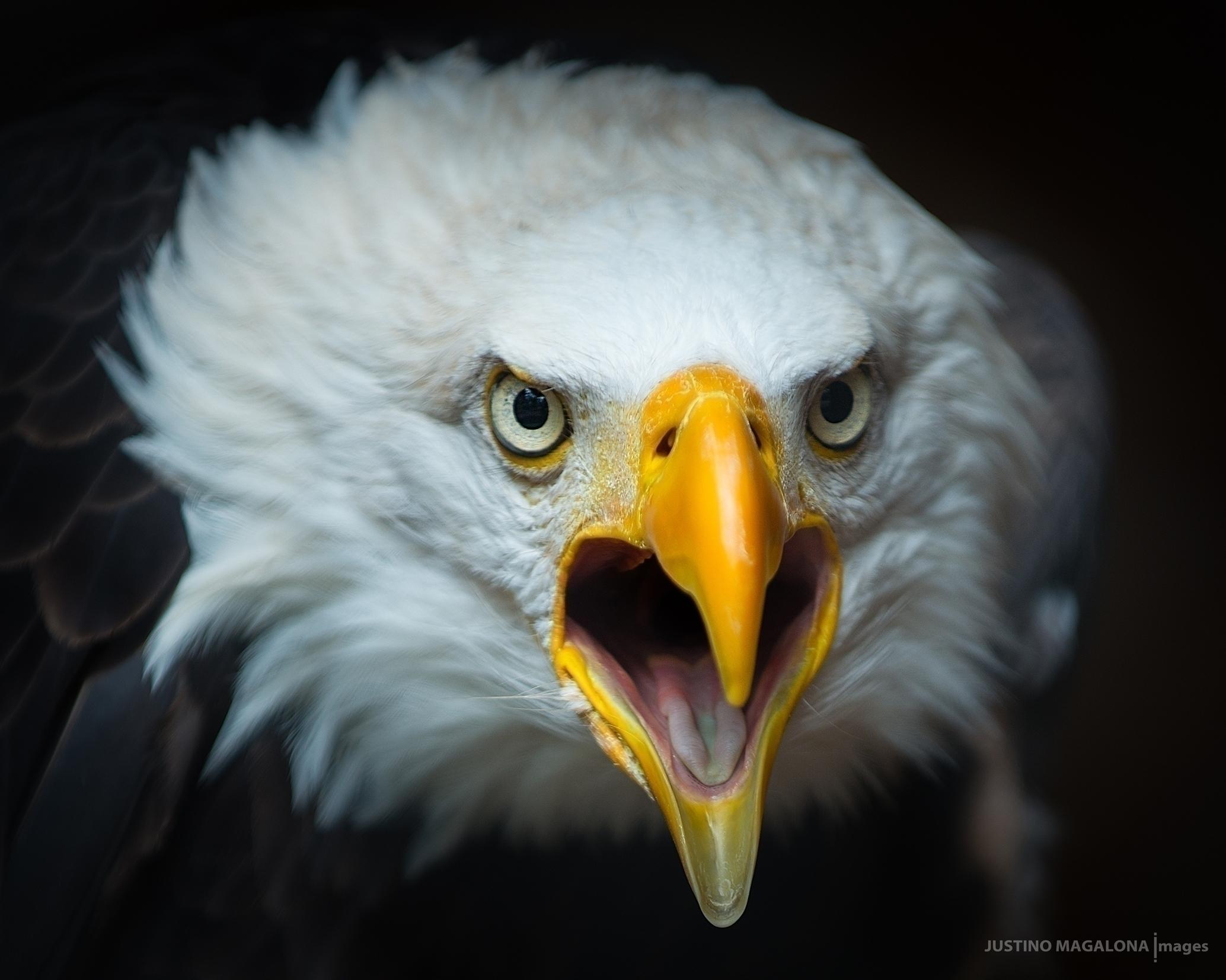 Screaming Eagle: series photogr - justinomagalona | ello