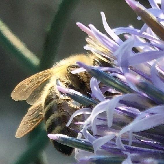 bee - nature, macrophotography, mobilephotography - anneberlin | ello