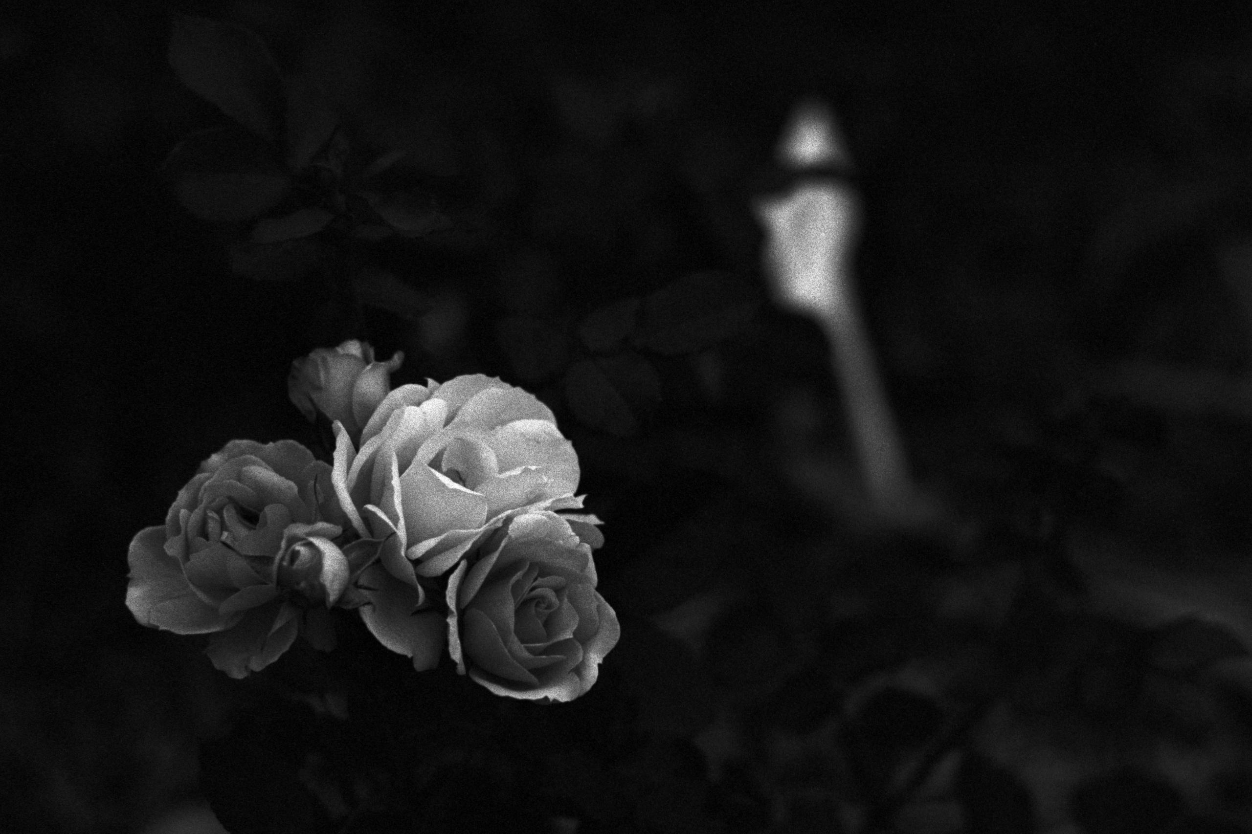 Roses Tamborine Mountain Botani - dropshot | ello