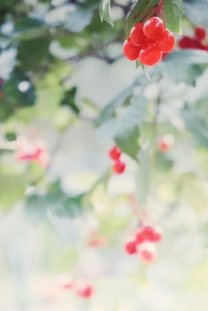 Viburnum - viburnum, botanical, nature - andreigrigorev   ello