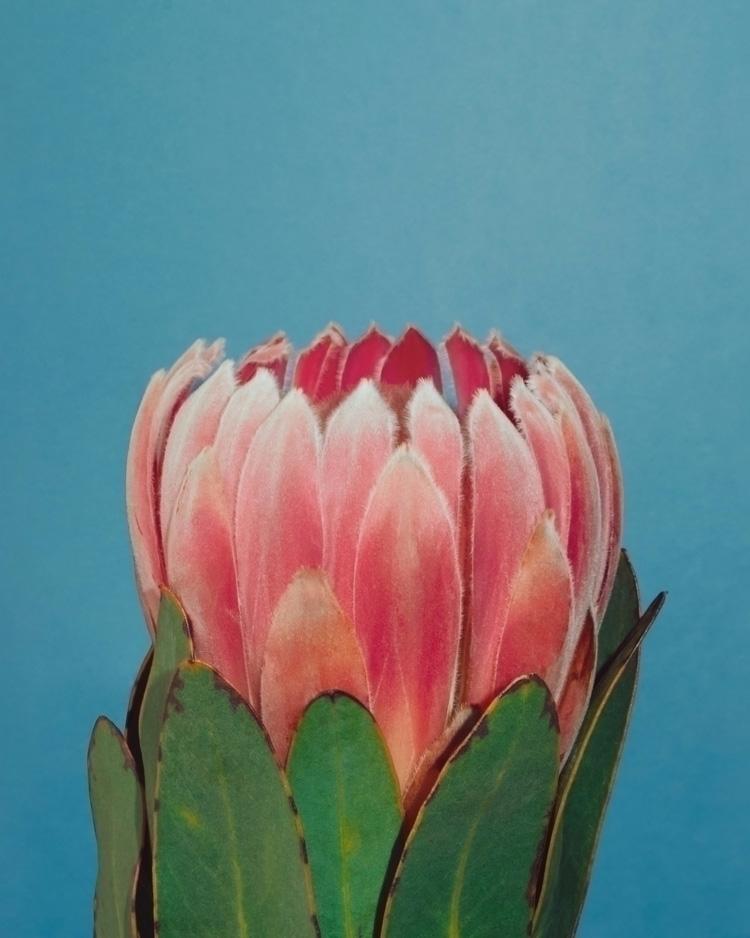 Protea - protea, flower, petals - andreigrigorev | ello