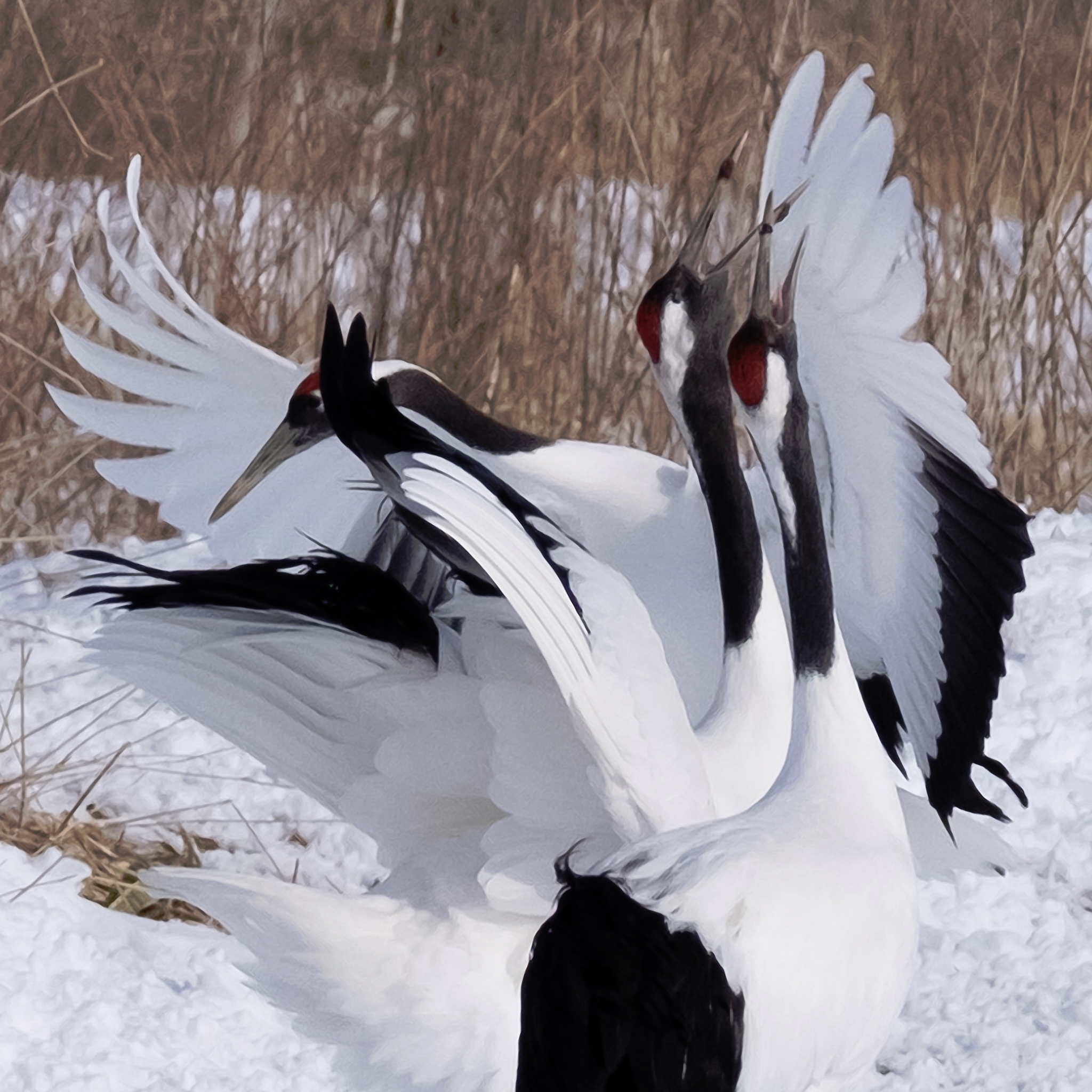 Red crowned cranes Kushiro Hokk - tedhamilton | ello
