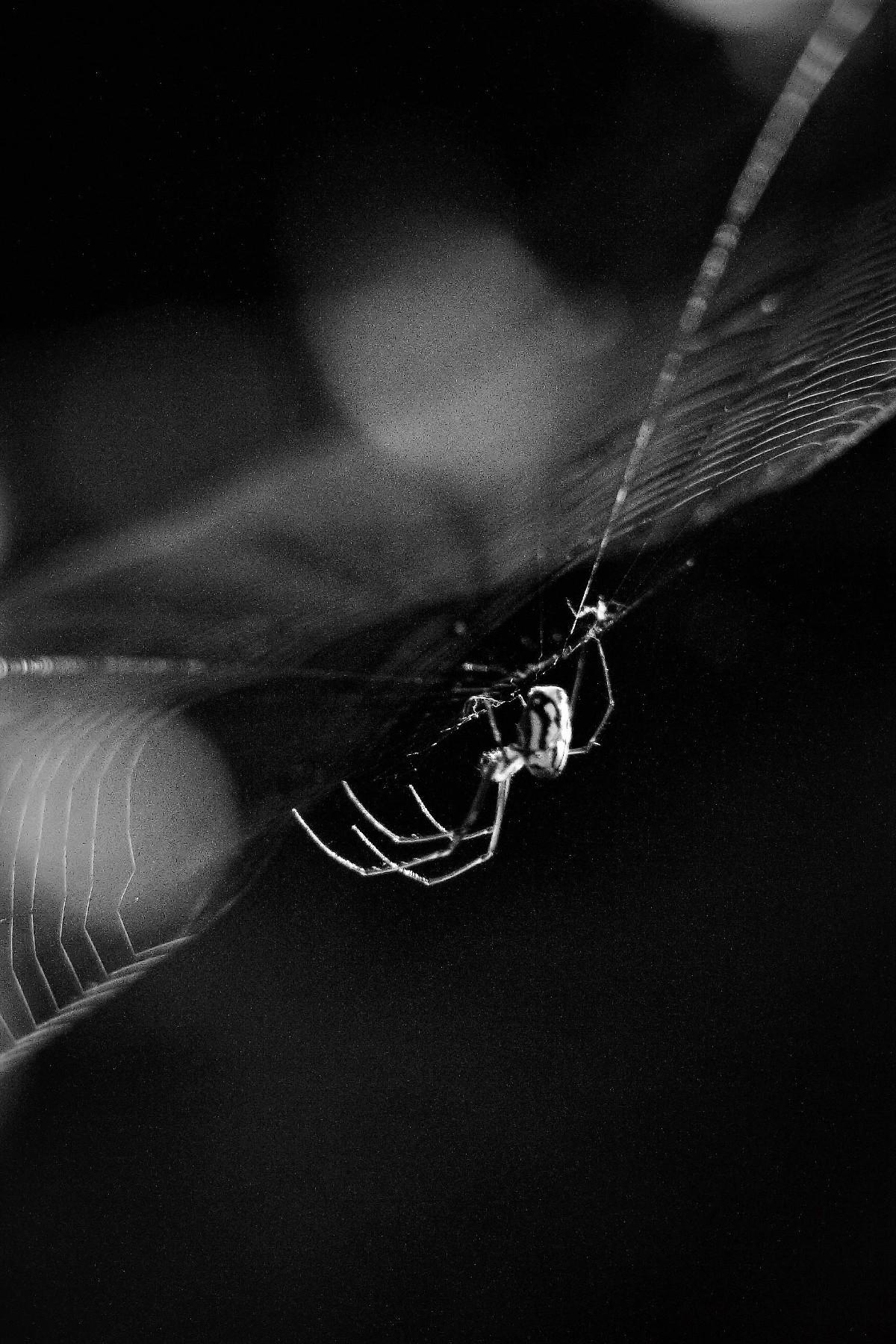 Orbweaver black white - twerts | ello