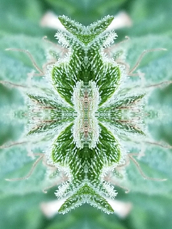 Photo credit Greene - cannabis, marijuana - trillianmann | ello